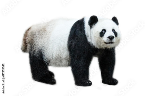 La pose en embrasure Panda The Giant Panda, Ailuropoda melanoleuca, also known as panda bear, is a bear native to south central China. Panda standing, side view, isolated on white background.