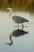 The Grey Heron (Ardea Cinerea) Is Wading Through Water Of Pond With Reflection