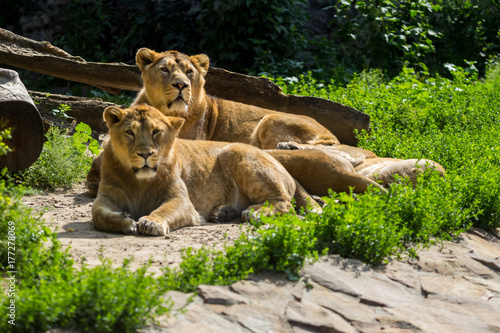 lion pride rests after hunting Canvas Print
