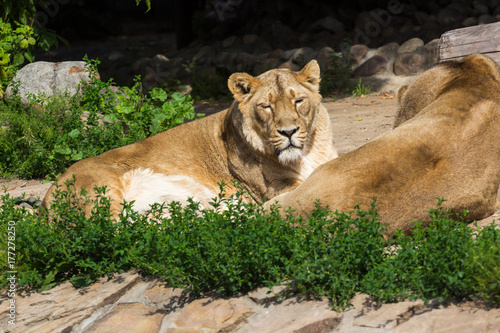 pride rests before the hunt, young male Asian lion and female Poster