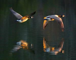 Fototapeta Ptaki geese at sunset