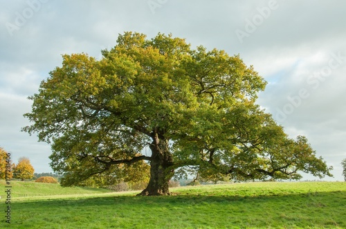 Fotografía  Old English oak tree in a summertime meadow.