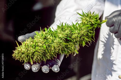 Zdjęcie XXL Dużej marihuany (konopie indyjskie) Bud trzymane w gumowych rękawiczkach przez technika w fartuchu