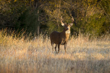 This Large White Tail Buck Had...