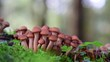 Hallimasch an einer Baumwurzel, Wald, Herbst, (Armillariella mellea)
