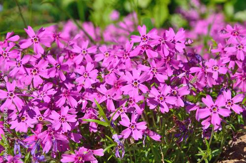 Foto op Canvas Azalea small purple flowers