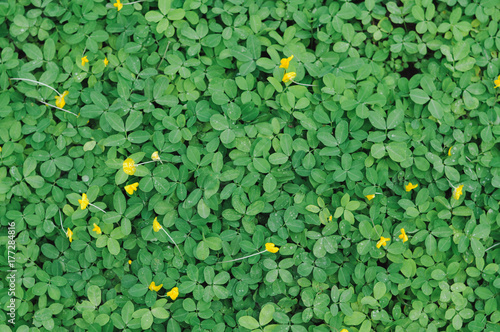 Green Leaves background,small yellow flower,green leaf of Arachis pintoi ,Pinto Wallpaper Mural