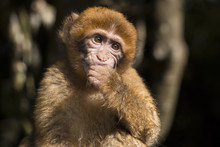 Barbary Macaque Baby Eating