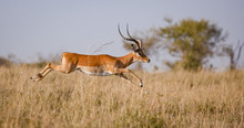 A Male Impala Leaps Outstretch...