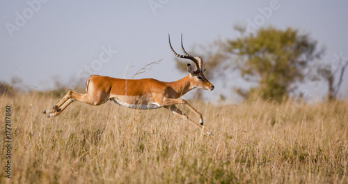 In de dag Antilope A male impala leaps outstretched in mid air over grassland in Kenya's Masai mara