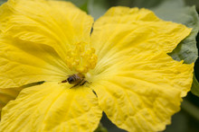 Closeup Of Bee And Sponge Gour...