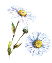 Chamomile Flower, Top View. Watercolor Illustration Isolated On White Background.