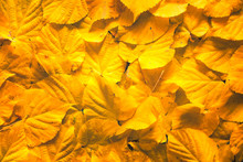 Yellow Autumn Aspen Leaves Background