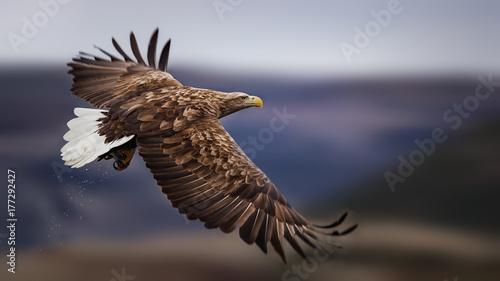 Sea eagle in flight, Norway
