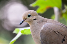 Mourning Dove Profile