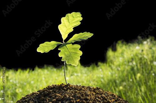 Small oak plant. Tree oak planted in the soil substrate. Seedlings or plants illuminated by the side light. Highly lighted oak leaves with dark background and green grass.