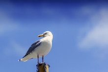 Wild Seagull