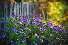 Lilac Autumn Flowers In A Garden, Soft Focus. Purple Aster Bloom, Blue Flowers