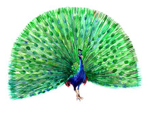 A Blue Peacock With Open Tail...
