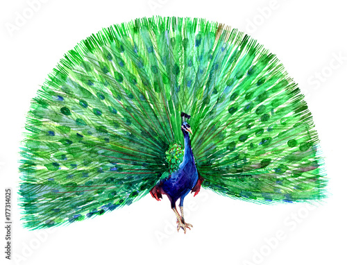 A blue peacock with open tail. Watercolor illustration isolated on white background.