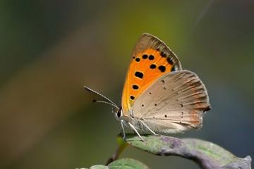 Farfalla posata su foglia-Lycaena phlaeas