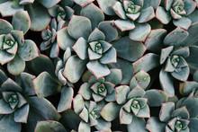 A Pretty Pink Edged Blue-grey Succulent.