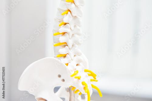 Fotografía  Close up human loins spine skeleton model