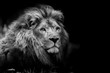 canvas print picture - lion portrait