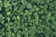 Detail Of Nettle Leaves.