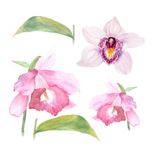 Botanical Watercolor Illustration Sketch Of Cattleya Flower And Orchid On White Background