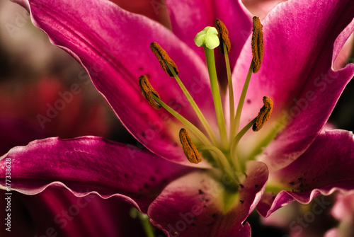 Floral macro photo of large pink/purple petals with details of stamen and pollen Tablou Canvas