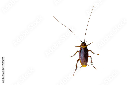 Cockroach isolated white background.