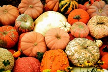 White And Orange Tiny And Giant Pumpkins  , Halloween Fall Autumn Farm Harvest Concept , Top View For Background