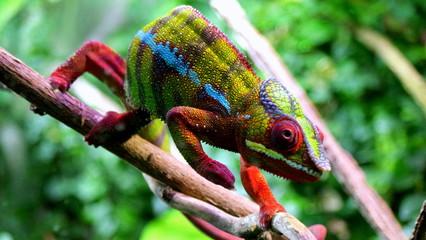 Fototapeta Piękny kolorowy kameleon idący po gałęzi