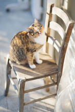 Cute Calico Cat Sitting On Wooden Chair And Looking At The Camera On Sunny Balcony
