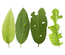 Green Leaves Are Eaten By Worm...