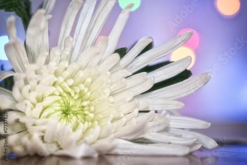 Poster de jardin Nénuphars Chrysanthemum