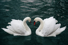Two White Swans In Love In A Green Lake