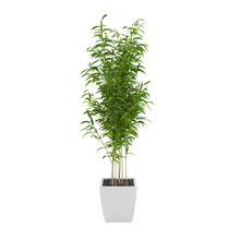 Decorative Bamboo Muriel Tree Isolated On White Background. 3D Rendering.
