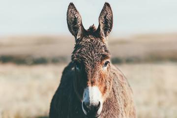 Farma magaraca Životinjska smeđa boja u preriji izbliza (magarac ili magarac, Equus africanus asinus pripitomljeni je član obitelji kopitara ili konja)