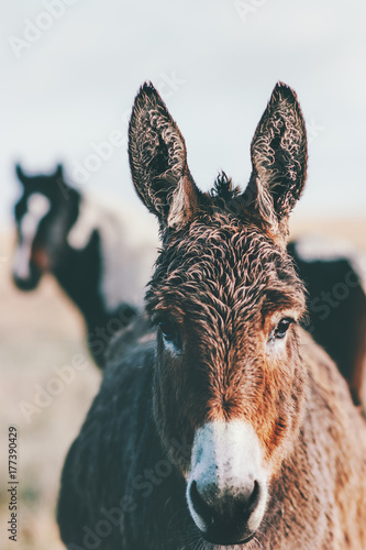 Deurstickers Ezel Donkey Farm Animal brown color close up (The donkey or ass, Equus africanus asinus is a domesticated member of the Equidae or horse family)