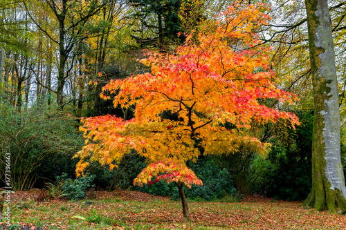 Brilliant coloured Acer tree in autumn - golds, red and yellows Canvas Print