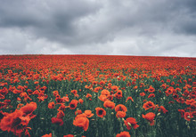 Large Poppy Field Under A Dramatic Cloudy Sky.