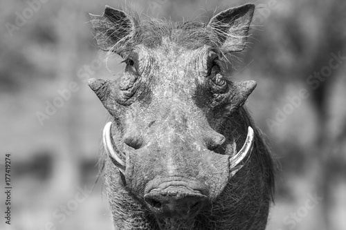 Photo  Warthog close-up