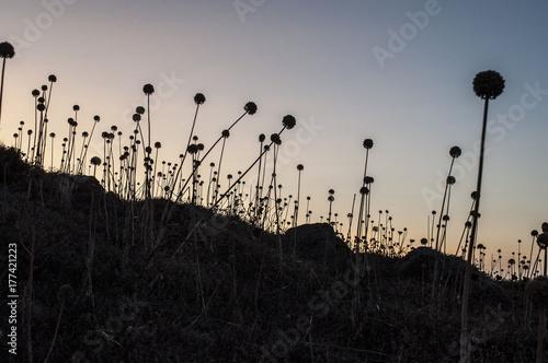Fotografie, Obraz  Un tramonto mozzafiato e un campo di Taraxacum officinale, il famoso dente di le