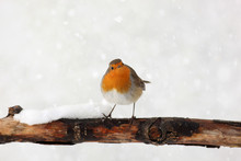 European Robin On A Branch In ...