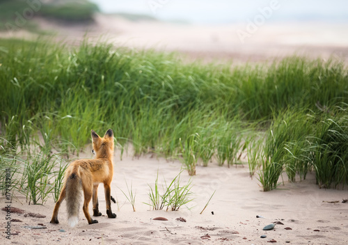 Single young wild fox looking over natural animal's territory and environment