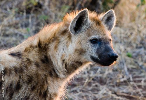 Poster Hyène hyena portrait backlit