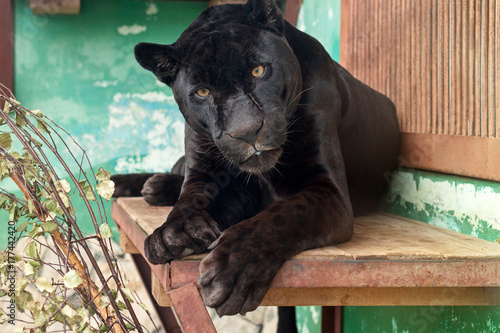 Foto op Plexiglas Panter Black Jaguar in the Yekaterinburg Zoo
