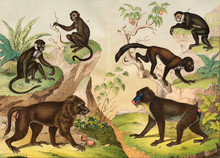 Mammals. Monkeys In The Wild.